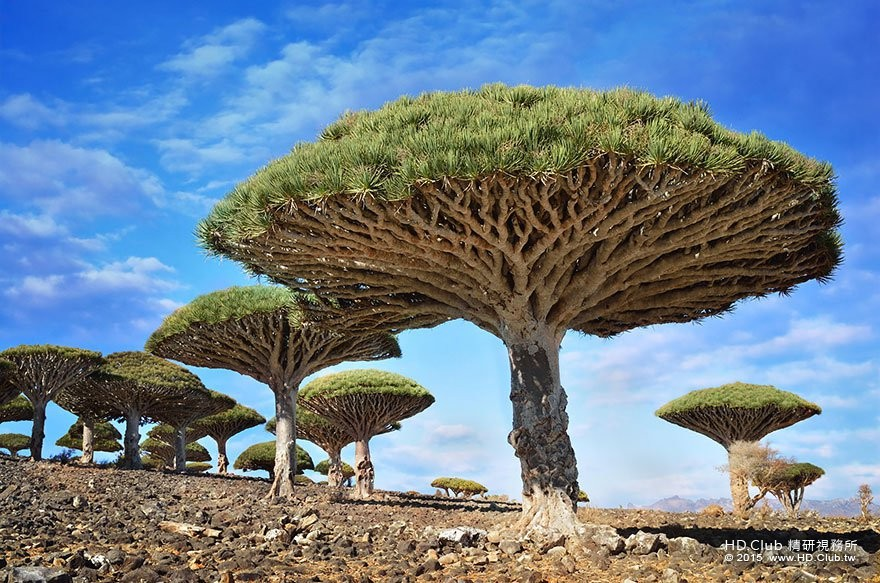 9. 葉門索科特拉島的龍血樹 (Dragonblood Trees).jpg